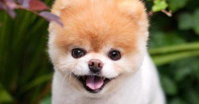 Boo, um dos cachorrinhos mais famosos da internet, morre aos 12 anos