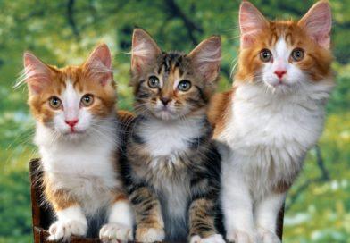 Dia Mundial do Gato