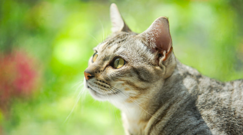 Comportamento das gatas no cio